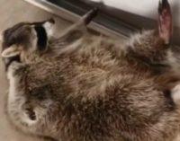 Хит из соцсетей: толстый енот попытался заняться гимнастикой, но потерпел фиаско